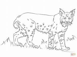 California Bobcat Coloring Page Free Printable Coloring