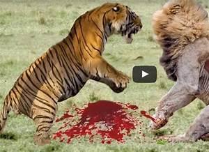 lion vs gorilla | Search Results | Million Gallery