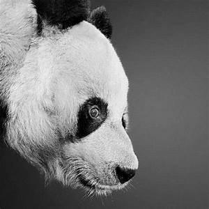 Panda pencil drawing | EAGLES, BEARS, ELK | Pinterest