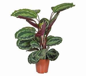 Pflanze Für Dunkle Räume : pfeilwurz maranta calathea 39 medaillon 39 pflanzen ~ A.2002-acura-tl-radio.info Haus und Dekorationen