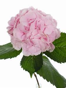 Welche Blumen Blühen Im August : hortensie verena rosa bestellen blumigo ~ Orissabook.com Haus und Dekorationen