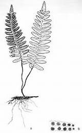 Fern Drawing Coloring Pages Resurrection Licorice Ferns Sketches Sister Root Roots Artists Sketch Silver Pattern sketch template