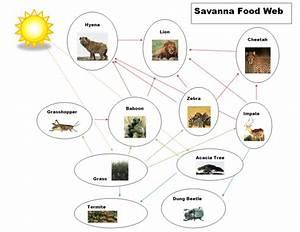 Food Chain  U0026 Food Web  Savannas Biome