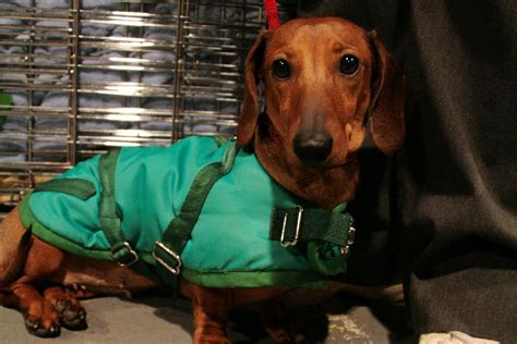 Busting  Myths About The Dachshund  Ee  Dog Ee   Reference