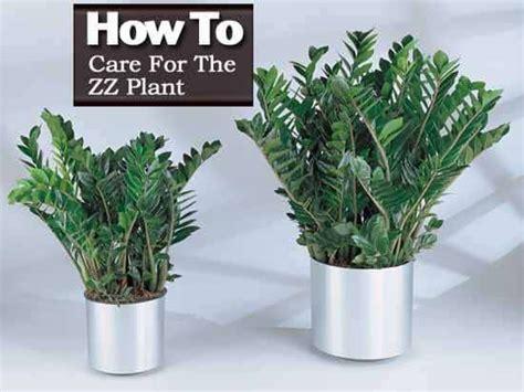 Zz Plant Care Growing Zamioculcas Zamiifolia [how To Guide]
