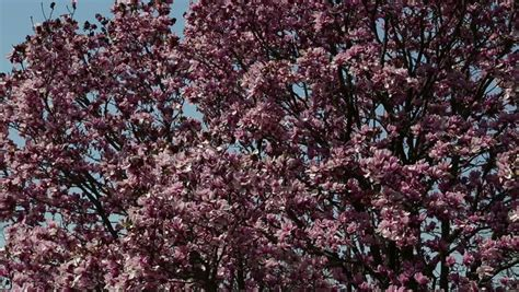 ornamental magnolia tree beautiful ornamental pink tulip magnolia tree stock footage video 3767657 shutterstock