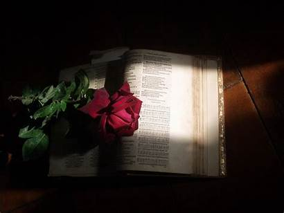 Rose Bible Background Christian Holy Flower Sunlight
