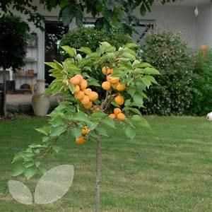 Apricot Compacta   Compact Dwarf Apricot Trees