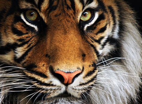 Most Beautiful Tiger Pictures That Will Inspire You