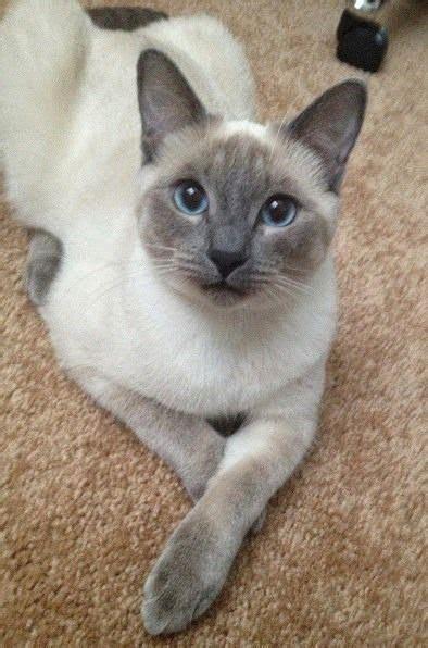 Best 25+ Siamese Cats Ideas On Pinterest  Siamese Kittens