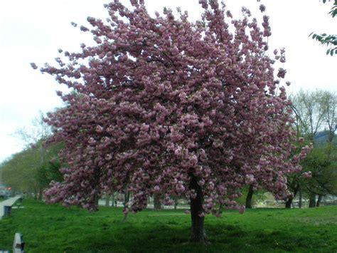 japanese flowering cherry tree royal burgundy japanese flowering cherry tree philadelphia sara murphy flickr
