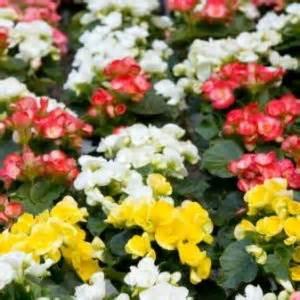when do begonias bloom begonia semperflorens will bloom no matter what gardening tips gardening ideas