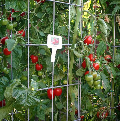 gardening c growing tomatoes in containers container