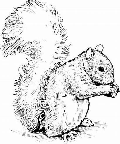 Squirrel Clipart Clip Squirrels Realistic Coloring Cartoon