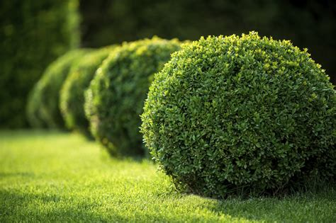 shrub image boxwood plant food learn about boxwood fertilizer requirements