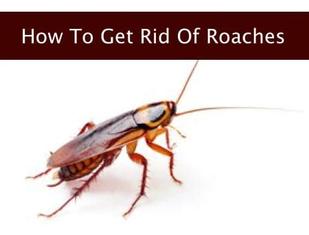 How To Get Rid Of Cockroaches Homestead Survival