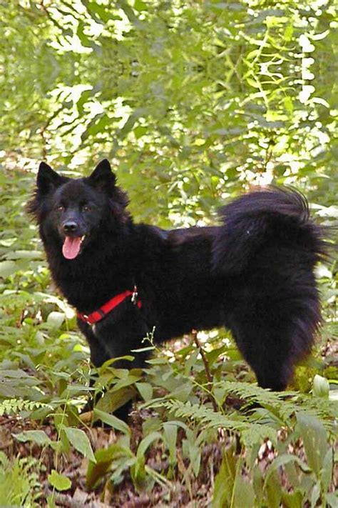 swedish lapphund dog breed information american kennel club