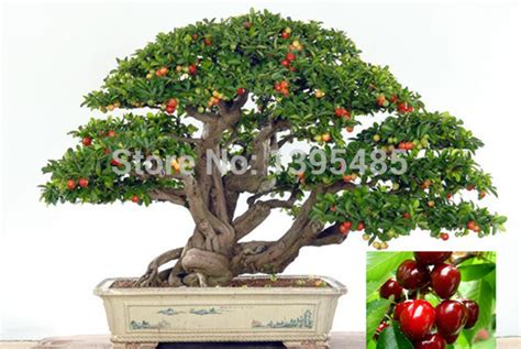indoor small trees aliexpress com buy 11 11 promotion today upscale indoor plants need fruit potted taiwan mini