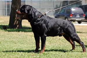 Rottweiler Dog Wallpapers - WallpaperSafari