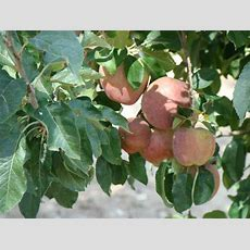 Selecting The Best Fruit Tree