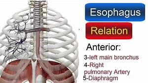 Relation Of Esophagus