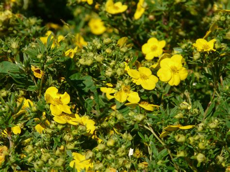 yellow flowers in summer free images flower food produce flora wildflower flowers evening primrose mustard