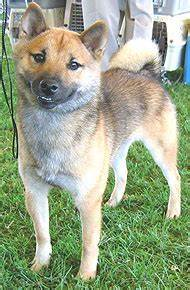 Shiba Inu Dog Spitz Northern Dog Breeds From The