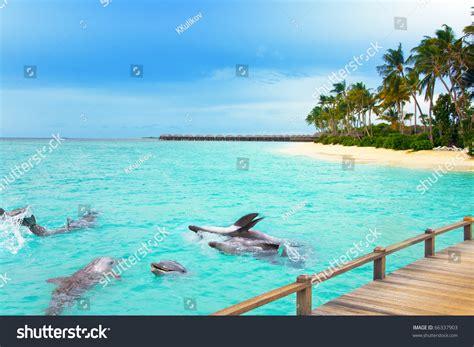 maldives dolphins ocean tropical island stock photo