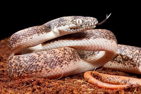 Savu Python In Defensive Posture Photograph by David Kenny