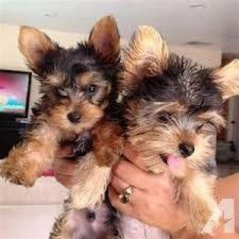tiny teacup yorkie puppies  rehoming offer