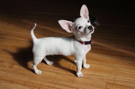 teacup dog  smallest dog breeds healthy paws pet