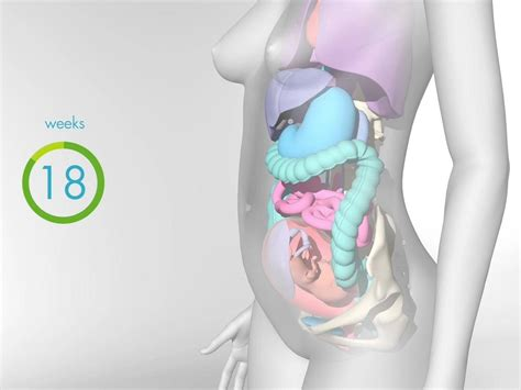 Fetal Development Videos Babycentre Uk