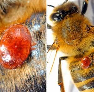 Was Machen Milben : varroa milbe wie imker ihre bienen sch tzen k nnen welt ~ Lizthompson.info Haus und Dekorationen