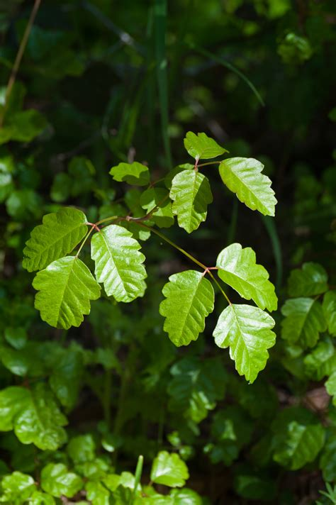 What To Do After You Encounter Poison Ivy Oak Or Sumac