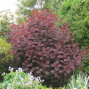 Arbustes Décoratifs à Fleurs : arbre perruques 39 grace 39 pot de 4 litres gamm vert ~ Premium-room.com Idées de Décoration