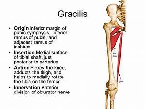 Gracilis Origin And Insertion