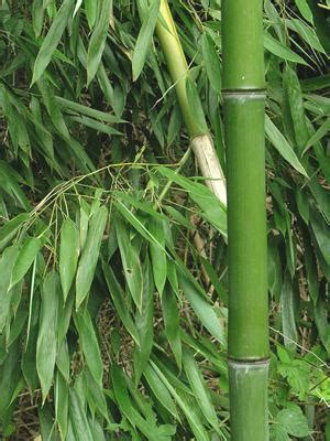 best food for bamboo plants bamboo an effective home remedy from your kitchen