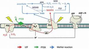 Mitochondria Diagram With Reaction