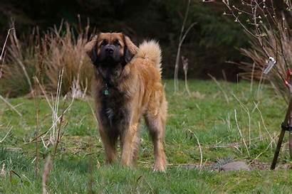 Leonberger Dog Breeds Popular America Biggest Breed
