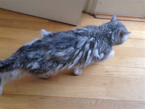how to get mats out of cat hair seeing matting and pelts from a cat s perspective