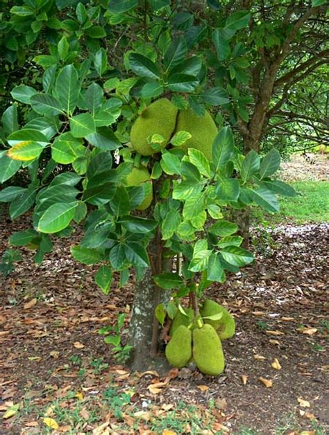 gallery fruit plants arun farms nursery