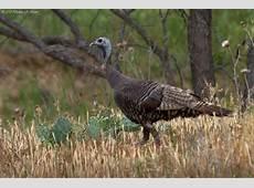 NorthCentral Texas Birds Wild Turkey