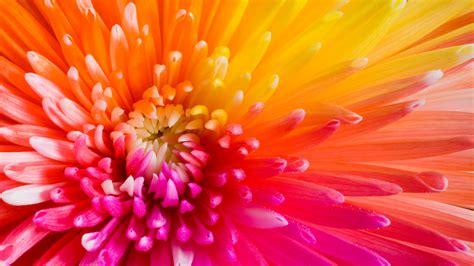 wallpaper colourful flowers 4k hd wallpaper flowers