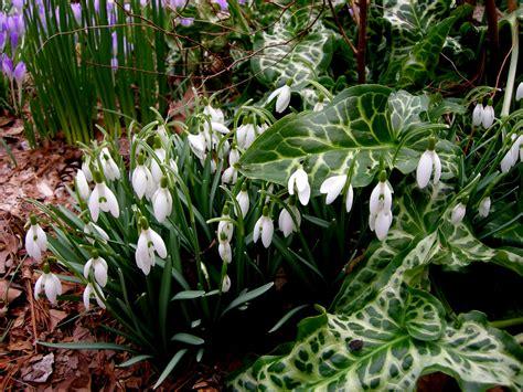 snowdrop gardens galanthus plicatus subsp byzantinus carolyn s shade gardens