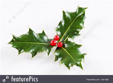 plants holly leaf  red berries stock picture