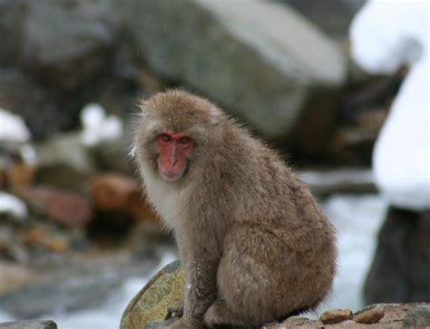 If You Kill Snow Monkeys Do You Go To Heaven Digital Dying
