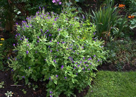 plante d ombre exterieur vivace une plante d ombre 224 floraison tardive en automne le