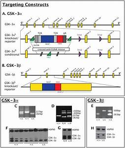 A. Top row: schematic of mouse GSK-3α locus. Middle row ...