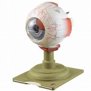 Somso Human Eye Model