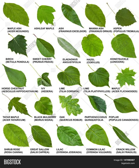 name of shrub green leaves of trees and shrubs with names stock photo stock images bigstock